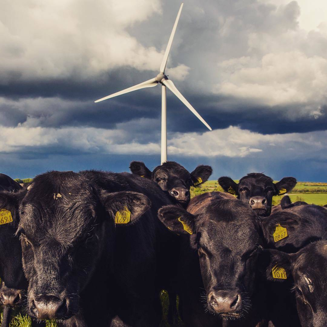 [#Cancans] Les éoliennes font tourner le lait des vaches